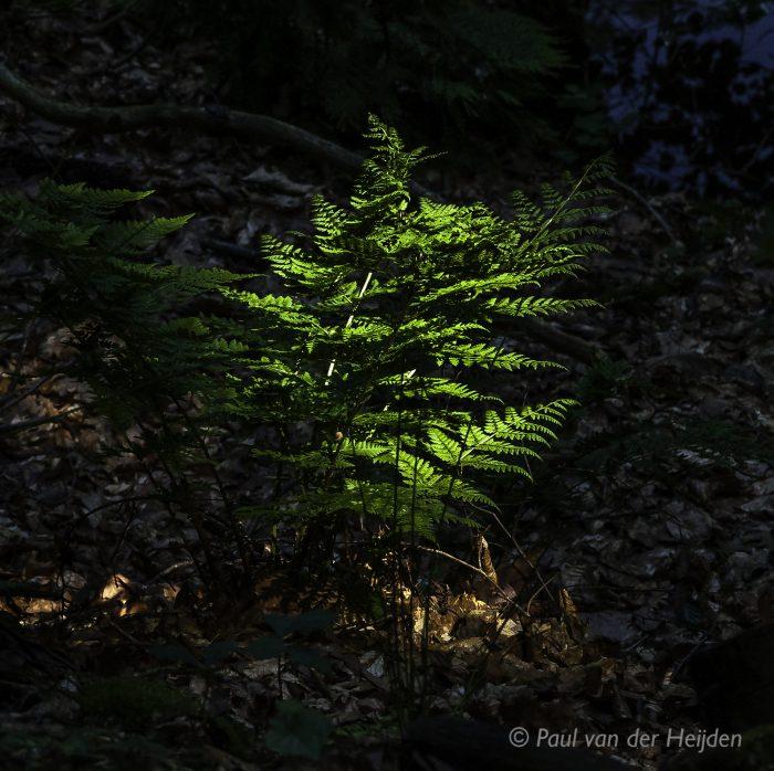 Varen in het bos