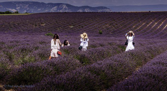 Lavendelveld, Provence, Frankrijk